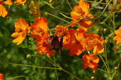 Butterflies and Poppies. Horizontal presentation royalty free stock image