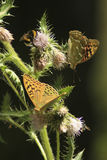 Butterflies on a prickle Royalty Free Stock Photography