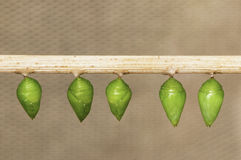 Butterflies pupa. Butterfly pupa hanging on a stick, ready to hatch Royalty Free Stock Images