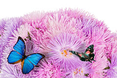 Butterflies on the purple aster flowers Stock Images