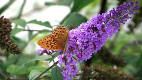 Butterflies on a purple flower stock video footage