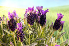 Butterflies on purple flowers Royalty Free Stock Photo