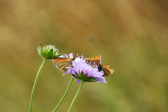 Butterflies on purple wildflower. A close-up about three butterflies on grainfield, on a purple wildflower stock image