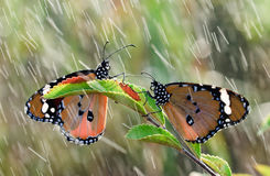 Butterflies in the rain Royalty Free Stock Image