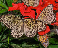 Butterflies on red flowers Stock Photo