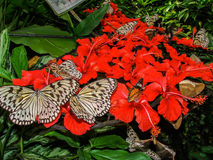 Butterflies on red flowers Royalty Free Stock Image