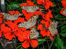 Butterflies on red flowers. Beautiful butterflies feeding on red flowers Stock Photography