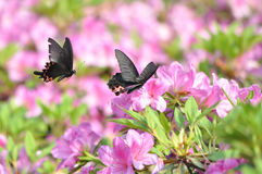 Butterflies and rhododendron Stock Photos