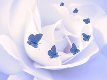Butterflies on rose petal. Common blue flying on a rose petal Stock Images