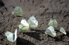 Butterflies on sand. In mountains of Caucasus, Russia Stock Photo