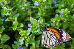 Butterflies. Sitting on the green leavesr. (The Common Tiger Stock Photo
