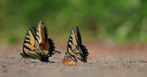 Butterflies in slow motion stock footage