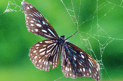 Butterflies and Spiders. Stock Images