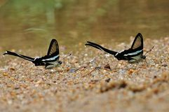 Butterflies are spraying water (Green Dragontail). Butterfly of thailand Royalty Free Stock Photo
