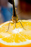 Butterflies sucking nectar. From an orange stock image
