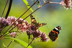 Butterflies in summer garden. Butterflies on Gravelroot in sunny summer garden Stock Photo