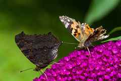 Butterflies on Summer lilac Royalty Free Stock Images