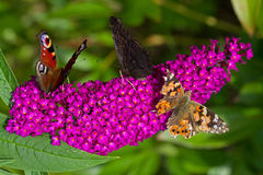 Butterflies on Summer lilac Stock Image