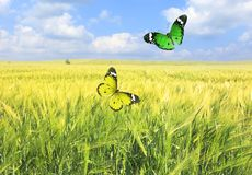 Butterflies summertime flying dance Stock Photography