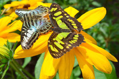 Butterflies on the sunflower - This photo was taken at botanical Stock Photo