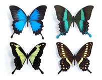 Butterflies,Swallowtail,Papilionidae, (panel). Butterflies,Swallowtail,Papilionidae, on the white background Stock Images