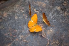Butterflies swarm eats minerals Royalty Free Stock Photo