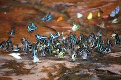 Butterflies swarm eats minerals Royalty Free Stock Photography