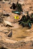 Butterflies swarm eats minerals on the ground