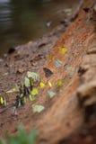 Butterflies swarm eats minerals Stock Photos