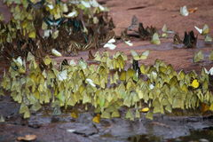 Butterflies swarm eats minerals Royalty Free Stock Images