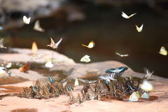 Butterflies swarm eats minerals Stock Photo