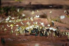 Butterflies swarm eats minerals Royalty Free Stock Image