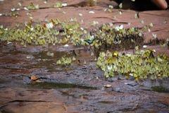 Butterflies swarm eats minerals Royalty Free Stock Photos