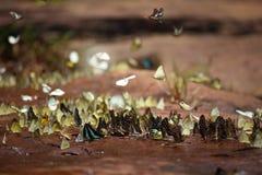 Butterflies swarm eats minerals Stock Photography
