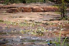 Butterflies swarm eats minerals Stock Image