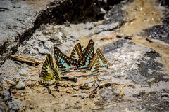 Butterflies swarm eats the minerals in the soil Royalty Free Stock Photo