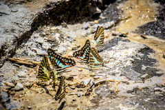 Butterflies swarm eats the minerals in the soil Royalty Free Stock Images