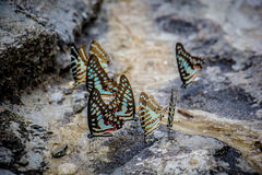 Butterflies swarm eats the minerals in the soil Stock Image