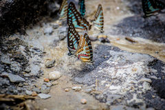 Butterflies swarm eats the minerals in the soil Stock Photos