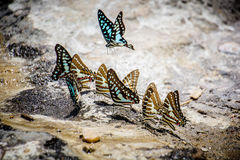 Butterflies swarm eats the minerals in the soil Stock Photography