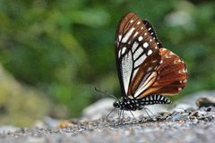 Taiwan butterfly(Chilasa agestor matsumurae) natural soil water suction royalty free stock images