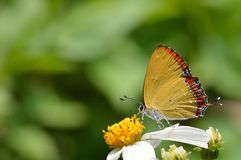 Taiwan Butterfly (Heliophorus ila matsumurae) on a flower Stock Photography