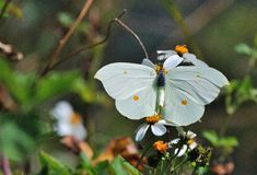 Taiwan Butterfly (Gonepteryx amintha formosana) on a flower Royalty Free Stock Photo