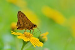Taiwan Butterfly (Hesperiidae) on a Railing Royalty Free Stock Photography