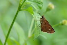 Taiwan Butterfly (Hesperiidae) on a Railing Stock Photo