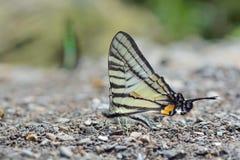 Taiwan butterfly(Pazala timur chungianus) natural soil water suction royalty free stock photos