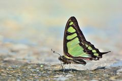 Taiwan endemic butterfly (Graphium cloanthus kuge) natural soil water suction Stock Image