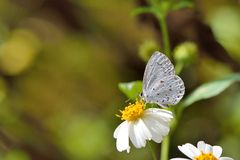 Taiwan Butterfly (Celastrina lavendularis himilcon) on a  flower Stock Photography