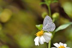 Taiwan Butterfly (Celastrina lavendularis himilcon) on a flower stock photography