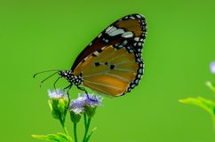 Butterflies are tearing flowers royalty free stock photography